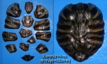 Carapace 1