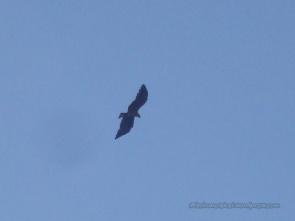 Javan Eagle flying